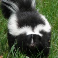 Sushi the Skunk