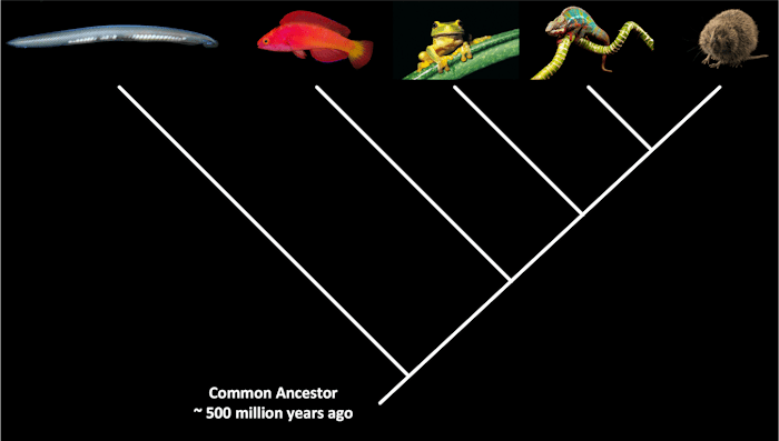 Chordate Common Ancestor