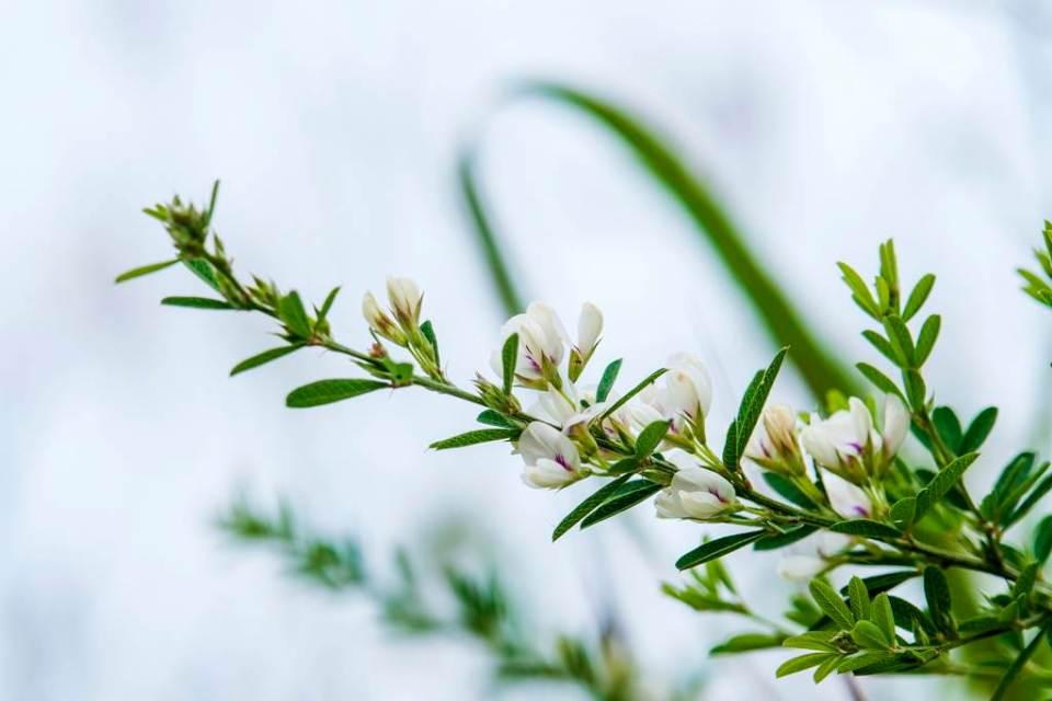비수리 꽃