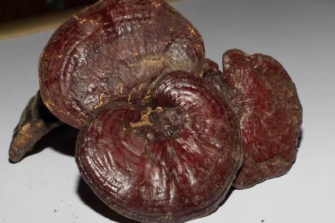 영지버섯 효능