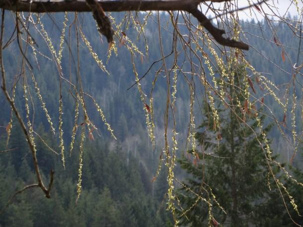 Budding Branches