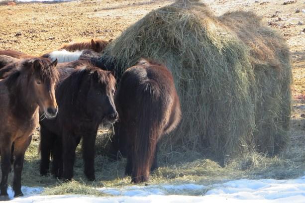 Iclandic Ponies 1