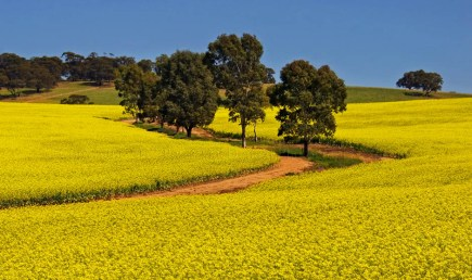 Canola Fields - Clare Valley