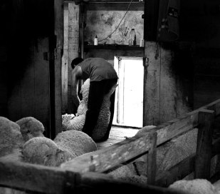 The Shearing Shed 2