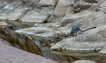 Yellow Footed Rock Wallaby 2