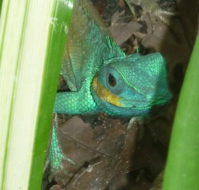 HCMC_Lizard