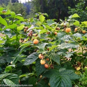 Yellow Raspberries growing in garden for Best Pancake Recipe