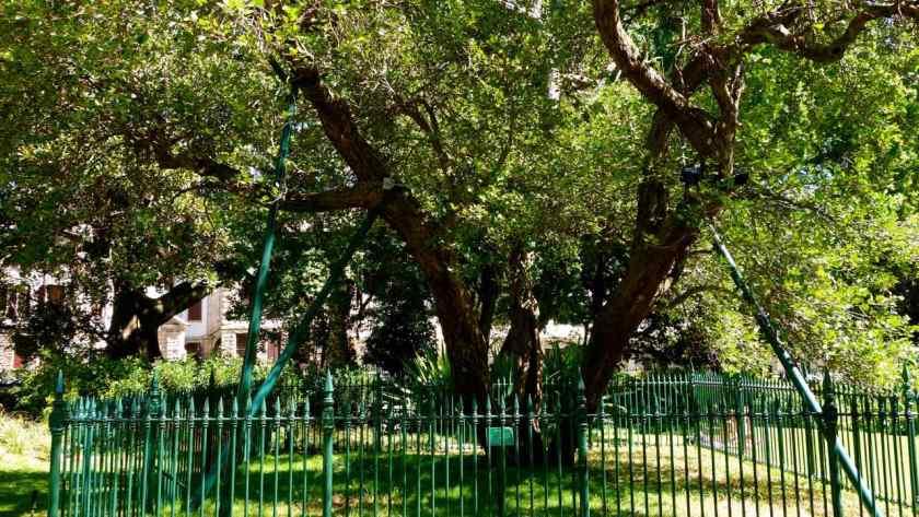 Kapstadt, Companys Garden, der Älteste Birnen-Baum