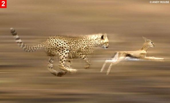 cheetah-run