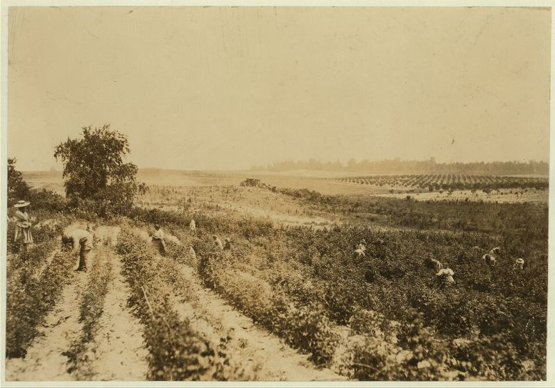 """A strawberry field on Rock Creek, near Baltimore. Whites and negroes, old and young, work here from 4:30 A.M. until sunset some days. A long hot day."", 1909 - Lewis Hine - <i>Library of Congress</i>"