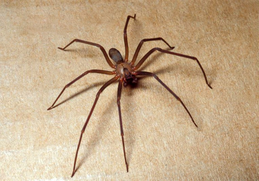 Brown Recluse Treatment