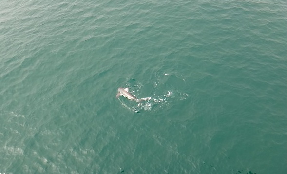 Another great white shark hooked on Manhattan Beach Pier  Pete Thomas Outdoors