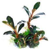 bucephalandra-pygmaea-kapit