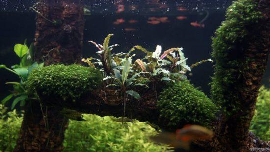 bucephalandra-sordidula-537efd124b893