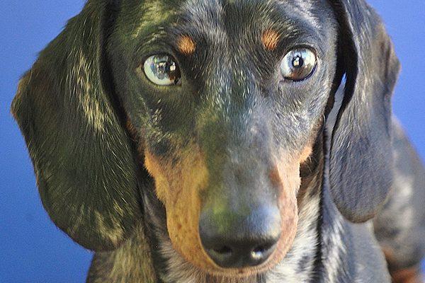 A blue-eyed Dachshund.