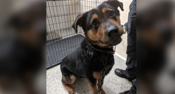 """Dog's Neck Pierced With Hook, Tow Chain in Detroit. They Named Him """"Courage."""""""