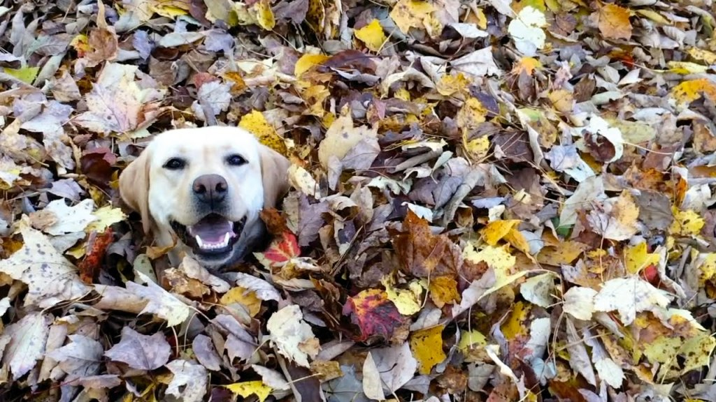 VIDEO: This hilarious, leaf-loving Lab is the antidote to Mondays. - Life With Dogs