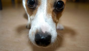 How to euthanize a dog at home without a vet should you euthanize a dog at home our advice for you solutioingenieria Choice Image