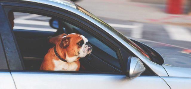 pas-u-kolima-kupovina-psa