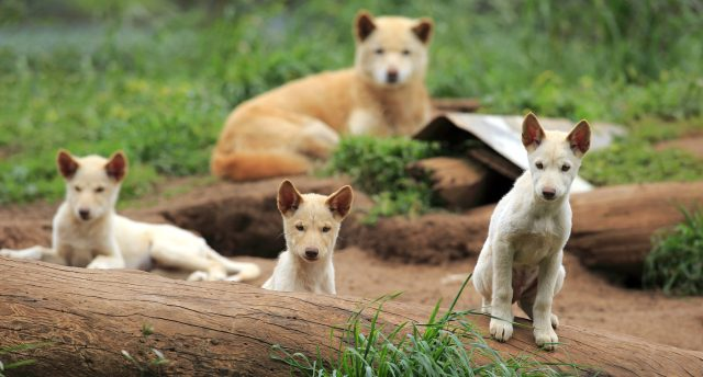 novogvinejski-pevajući-pas-rase-pasa-koje-najduže-žive
