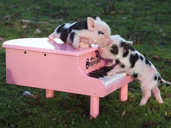 Mini porco Tudo sobre o animal que virou mania no Brasil