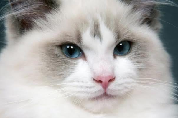 Cute White Cats And Kittens Wallpaper Gatos Gigantes 6 Ra 231 As Que Voc 234 Precisa Conhecer