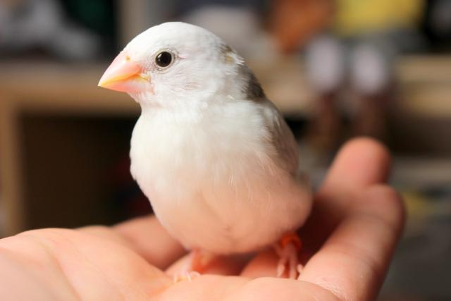 ジュウシマツってどんな鳥?寿命や値段、性格も!