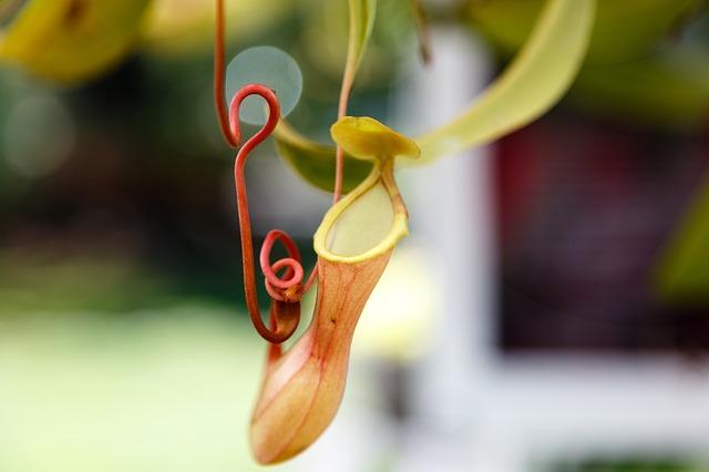 ウツボカズラの種類はどれくらい?育て方や捕虫の仕組みとは?