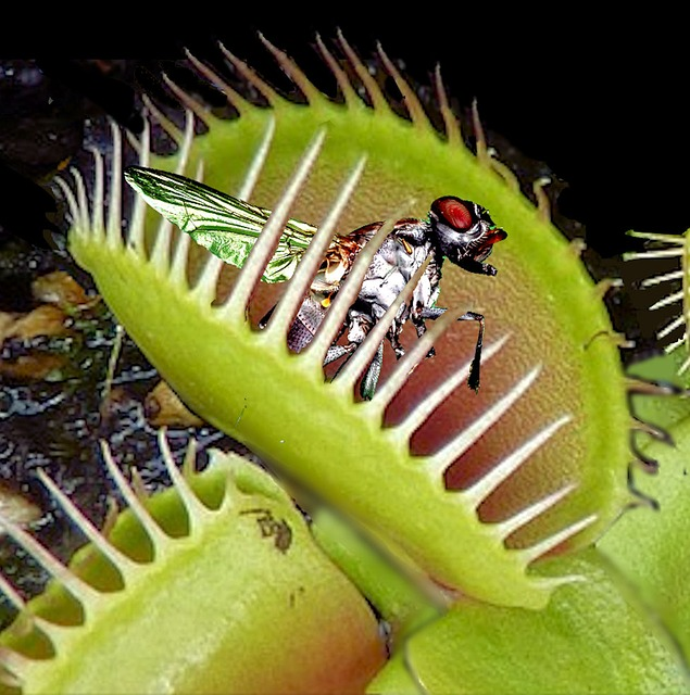 食虫植物ハエトリソウ(ハエトリグサ)の仕組みや育て方とは!?