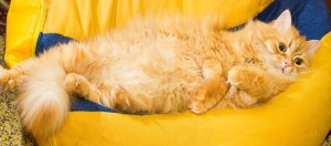 Reasons why do Cats Show Their Belly?