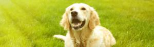 Golden y Labrador Retriever