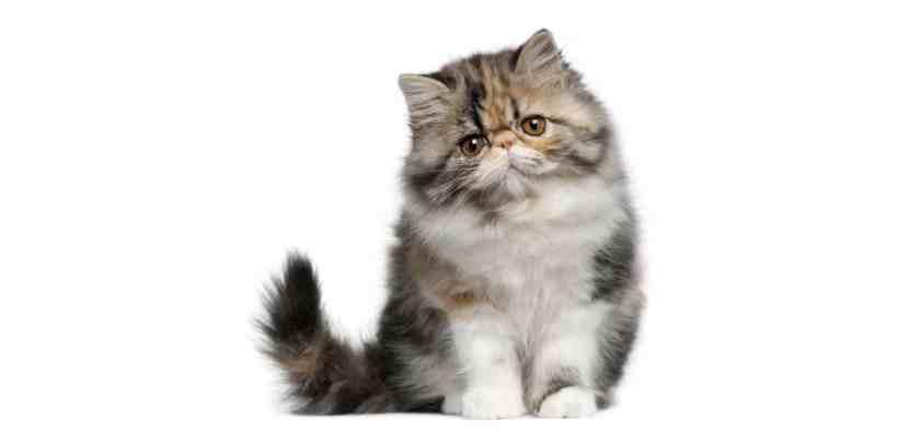 Persian-Cat-Insurance