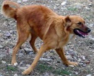 cerebellar-hypoplasia-dogs