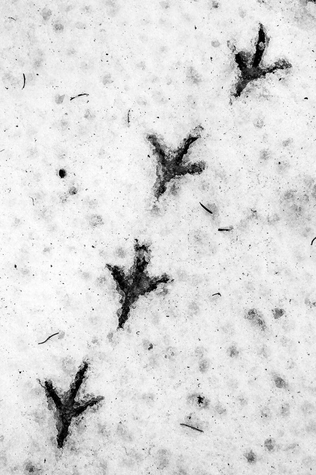traces de pattes d'oiseaux dans la neige