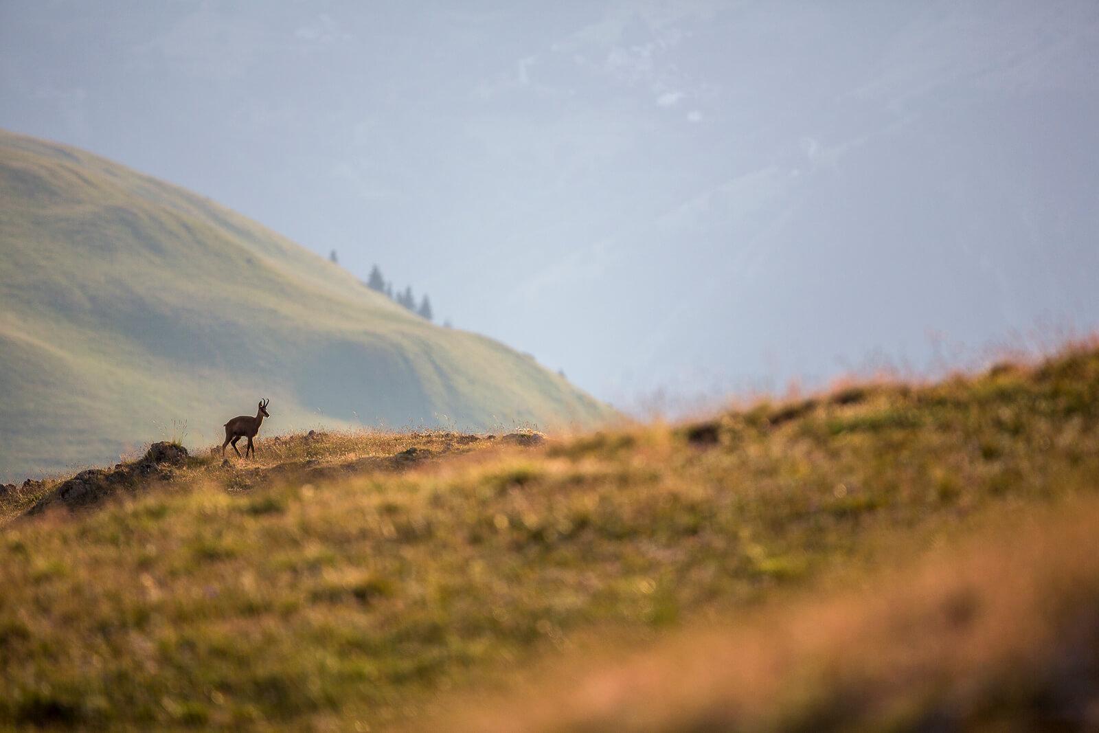 Voir des animaux sauvages dans la montagne, le chamois
