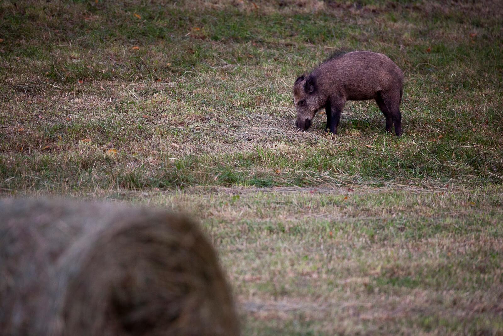 Voir des animaux sauvages en France -sanglier