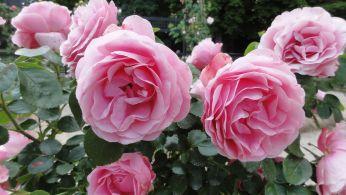 20170602 roseraie vdm 06