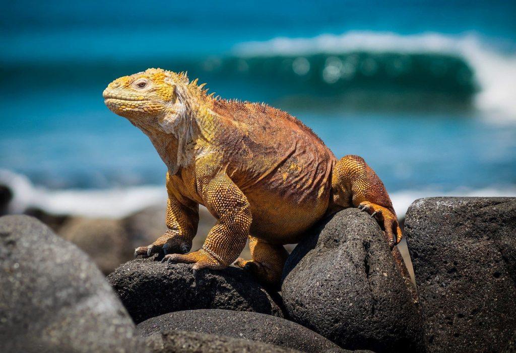 iguane sur l'île galapagos