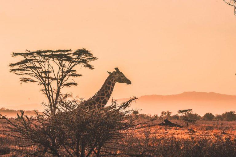 paysage afrique avec girafe au kenya