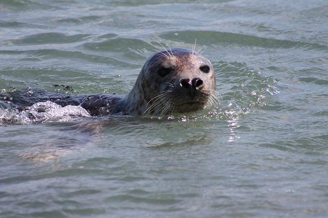 phoque dans l'eau