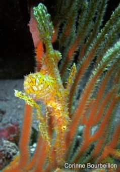 Ornate ghost-pipe fish