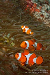Poissons-clowns. Raja Ampat, Papouasie occidentale, Indonésie, janvier 2015.