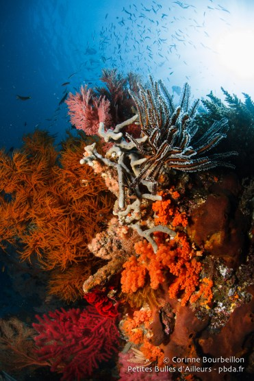 Le corail à Misool est somptueux. (Raja Ampat, Papouasie occidentale, Indonésie, novembre 2015.)