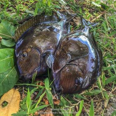 Deux poissons tout frais pêchés. (Ondoliang Beach, Centre-Sulawesi, Indonésie, juillet 2017)