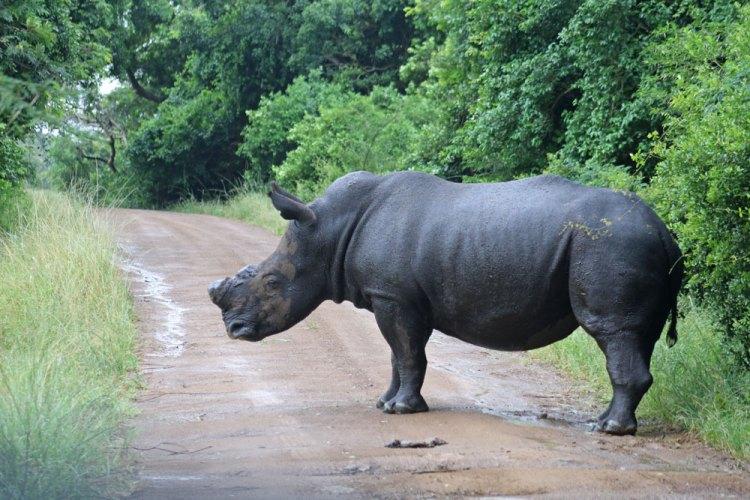 rhino sans corne afrique du sud
