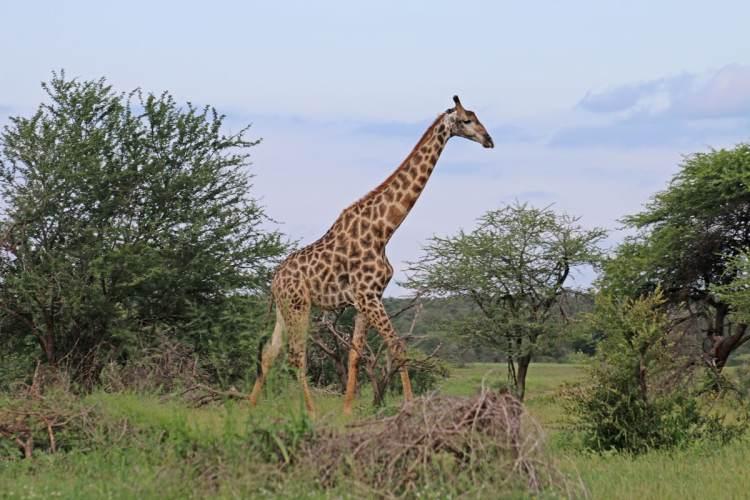 girafe parc kruger afrique du sud en famille