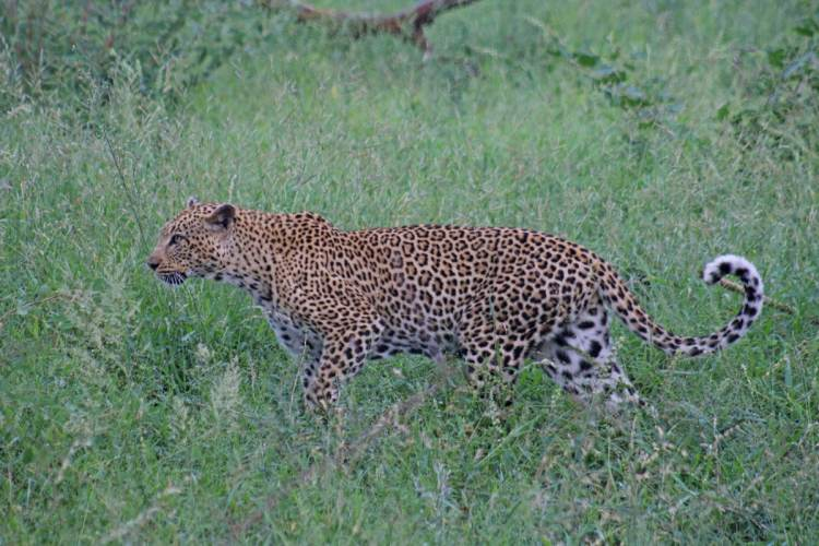 léopard parc kruger safari