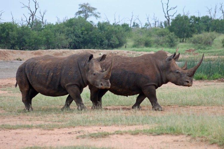 rhinocéros hlane national park swaziland