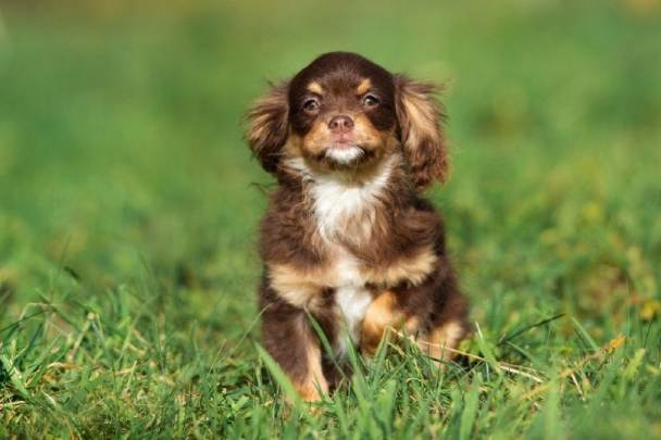 Chó Chihuahua lai Cocker Spaniel