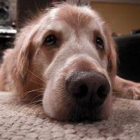 Köpeklerin kulak ve burun yapısı